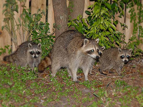 Raccoons in the back yard!