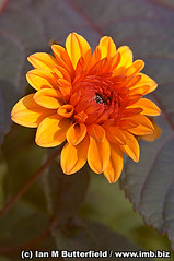 A close-up of an orange flower possibly a dahlia at Caldecott Park, Rugby. photo by Ian M Butterfield