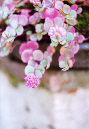 伊香保石段街の植物