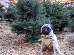 Pug sized forest