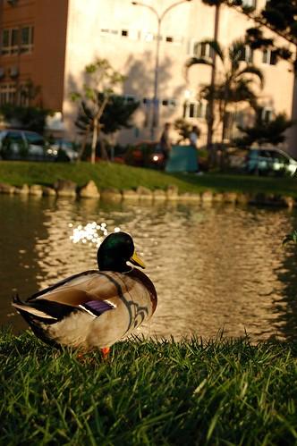 中興大學中興湖的小鴨
