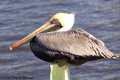 20061213_EvergladesPelican04