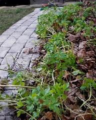 parsley on dec 17th