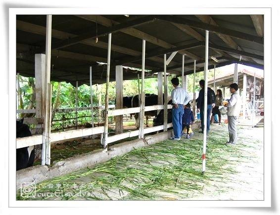 台東初鹿牧場-餵牛區
