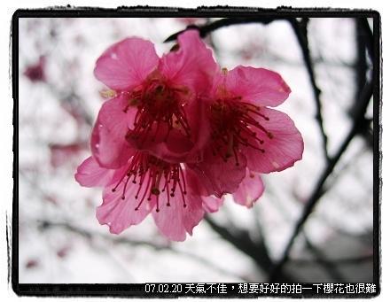 三芝賞櫻花
