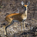 Steenbok by Arno & Louise