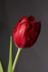 Tulip photo by Chesil