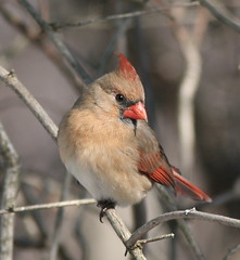 Northern Cardinal female looking good photo by Henry McLin