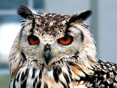 European Eagle Owl photo by Lynngerald
