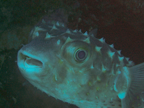 porcupinefish 3