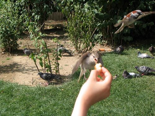 gorriones comiendo al vuelo