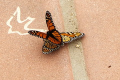 Butterflies and Swallows Come Back to Capistrano