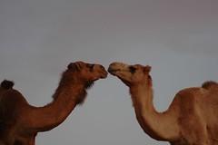 Camel lovin'