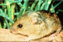 9c. Salt Marsh Harvest Mouse Photo