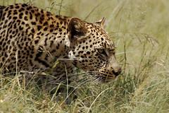 The hunter photo by Arno Meintjes Wildlife