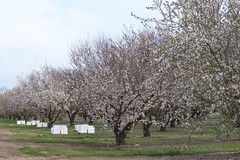 Almonds and Bees (Day 061)