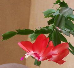 Red Christmas Cactus 2