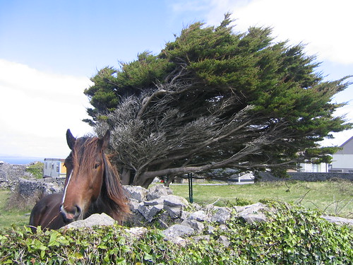 Windblown Tree, Horsie