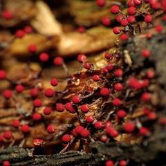 Red Slime Mould