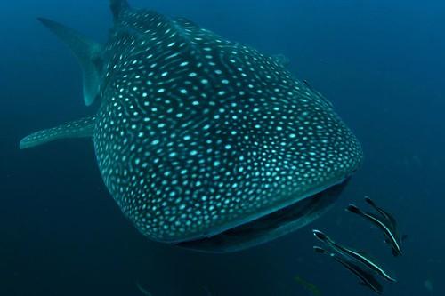 離鯨鯊最近距離的美麗照片,其他雖然也有很近距離的,但角度不佳!