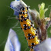 Bordered Patch Caterpillar (Chlosyne lacinia) Eating Bluebonnets