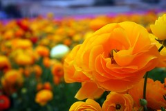 Yellow and Orange Ranunculus