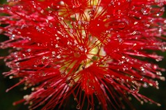 bottlebrush and rain drops photo by inail1972