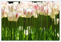 tulip-02