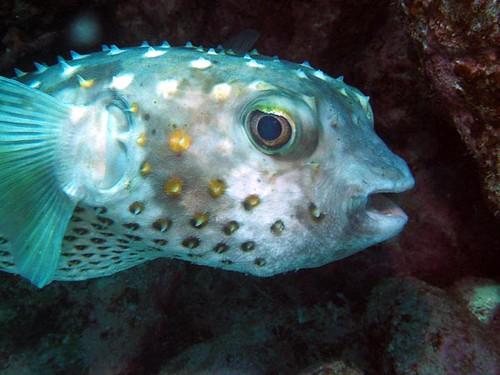 porcupinefish 2