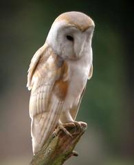 Barn Owl, West Newton (Norfolk), 6-Feb-04 photo by Dave Appleton