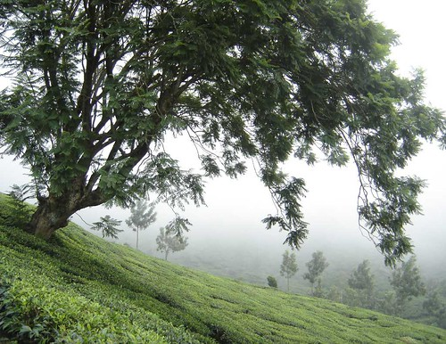 MUNNAR-TREE-IN-A-SLOPE