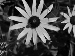 Black Eyed Susan B/W