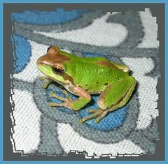 keyboard frog