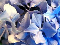 blue hydrandgea