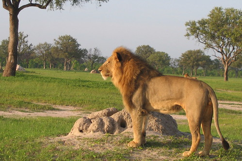 Lion: Hwange National Park