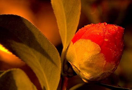 Camellia by Streetlight