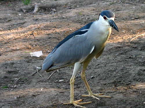 black-crowned night heron (by Audiofan)