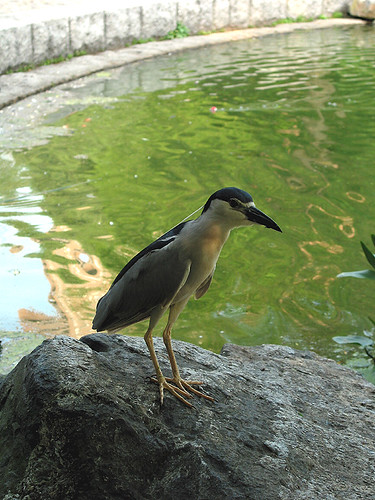 Nycticorax nycticorax (by Audiofan)