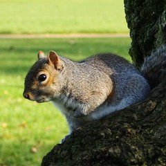 Hyde Park Squirrel photo by pearceval