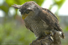 Ö_ö mr. tufts, the owl ....♫  bubo sumatranus - a bird from bali♫ photo by bocavermelha-l.b.