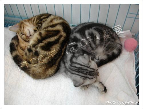 兩隻漂亮虎斑