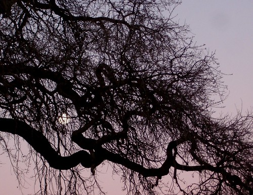 Full Moon Behind an Oak on King Street (by ~summer~)