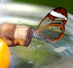 Transparent Wings photo by Michael Nagel