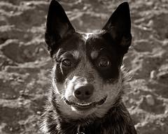 Smiling Aussie photo by Piotr Organa