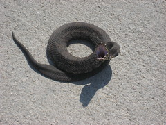 Cotton Mouth Snake photo by .imelda