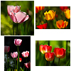 Tulips, by Rob J with the Nikon D70 + Nikkor 180mm f/2.8D ED-IF AF lens