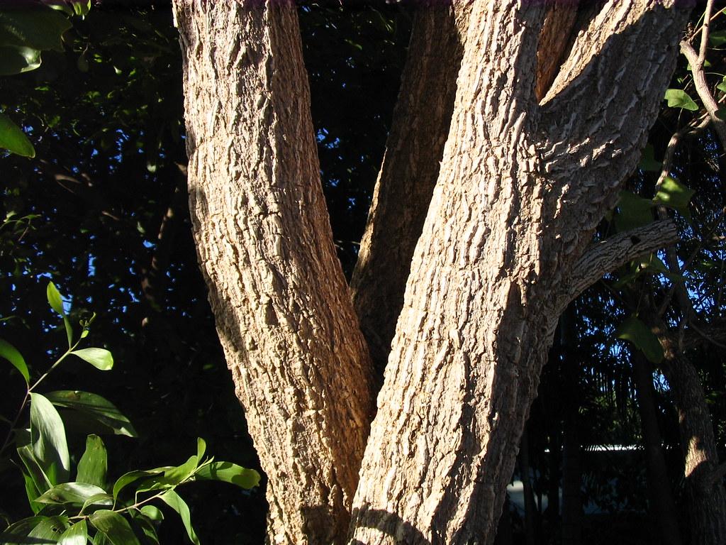 Erythrina caffra bark