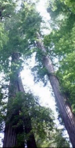 redwoods XXL
