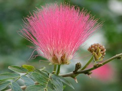 Calliandra californica ???