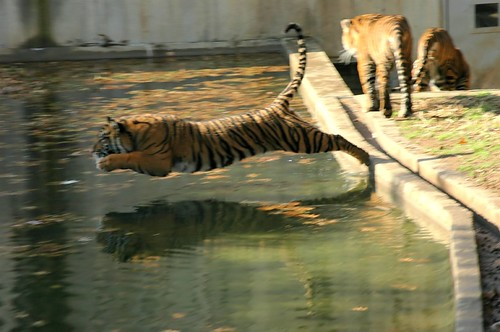 Tiger Leaps in to the water! (must see large) I'm going to really miss these guys ;(
